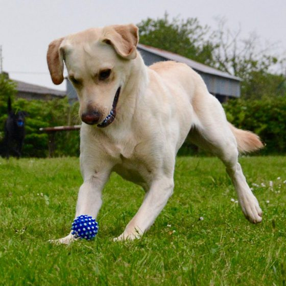 Yellow Labrador with balls